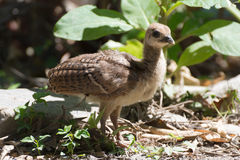 Portrait of a common turkey chicklet Royalty Free Stock Photography
