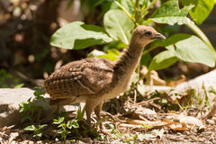 Portrait of a common turkey chicklet Royalty Free Stock Photos