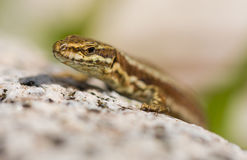Portrait of Common Wall Lizard. A close-up of a Common Wall Lizard - Podarcis muralis - basking on a rock royalty free stock photos