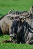 Portrait of Common Wildebeest Connochaetes Alcelaphine Bovidae l. Aying in Summer sun royalty free stock images