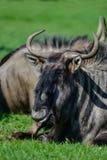 Portrait of Common Wildebeest Connochaetes Alcelaphine Bovidae l Royalty Free Stock Images