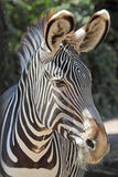 Portrait of a common zebra Stock Images