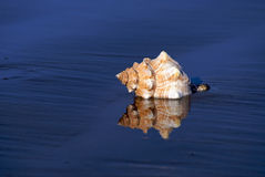 Portrait of a conch shell Stock Image