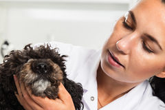 Portrait of confident female veterinarian examining dog in hospital Royalty Free Stock Photos