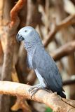 Portrait of an Congo African Grey Parrot (Psittacu Royalty Free Stock Images
