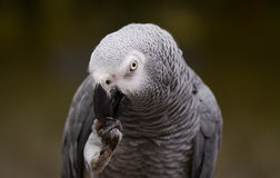Portrait of an Congo African Grey Parrot Psittacus erithacus erithacus Stock Photos