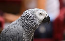 Portrait of an Congo African Grey Parrot Psittacus erithacus erithacus Stock Images