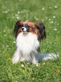 Continental Toy Spaniel on the green grass Royalty Free Stock Images