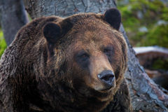 Portrait of Coola the grizzly bear Royalty Free Stock Photography