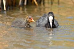 Coot and baby coot swimming in the water Royalty Free Stock Images