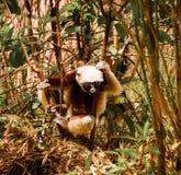 Portrait of the Coquerel`s sifaka aka Propithecus coquereli at Lemurs park, Antananarivo, Madagascar. Portrait of the Coquerel`s sifaka aka Propithecus coquereli stock image
