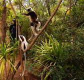 Portrait of the Coquerel`s sifaka aka Propithecus coquereli at Lemurs park, Antananarivo, Madagascar. Portrait of the Coquerel`s sifaka aka Propithecus coquereli royalty free stock images