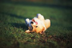 Portrait of a funny red Corgi puppy lying on green young grass on a spring Sunny meadow to the top of his stomach and sticking out. Portrait of a Corgi puppy royalty free stock photography