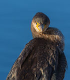 Portrait of a Cormorant Royalty Free Stock Photo