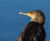 Portrait of a Cormorant Stock Images