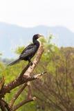 Portrait of cormorant. Baringo. Kenya Royalty Free Stock Photography