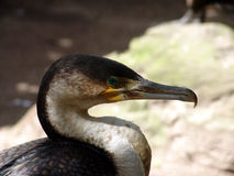 Portrait of Cormorant bird Stock Photos