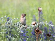 A portrait of a corn bunting Emberiza calandra. Sitting on a branch of wormwood on a blurred background Royalty Free Stock Images
