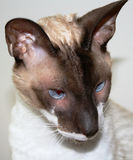 Portrait of a Cornish Rex. Stock Images