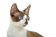 Portrait of Cornish Rex cat Stock Photo