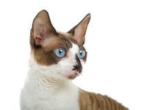 Portrait of Cornish Rex cat. With blue eyes, isolated on white background Stock Photo