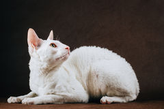 Portrait of  Cornish Rex Cat on Brown Background Stock Photography
