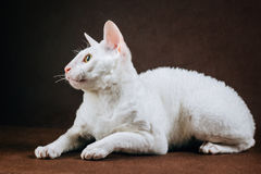 Portrait of  Cornish Rex Cat on Brown Background.  Stock Photos