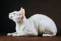 Portrait of  Cornish Rex Cat on Brown Background.  Royalty Free Stock Photo
