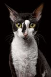 Portrait of Cornish Rex Looking in Camera. Isolated on Black Background Royalty Free Stock Photos