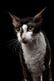 Portrait of Cornish Rex Looking in Camera Isolated. On Black Background Stock Photography
