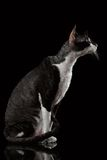 Portrait of Cornish Rex in Profile on black Royalty Free Stock Images