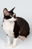 Portrait of Cornish Rex Sits on White. Background Royalty Free Stock Photography