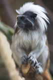 Portrait of cotton-top tamarin (Saguinus oedipus) Royalty Free Stock Photography