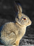 Portrait of a Cottontail 2 Royalty Free Stock Images