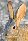 Portrait of a Cottontail Stock Images