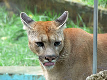 Portrait of cougar. Side portrait of cougar or puma behind glass in captivity Royalty Free Stock Photos