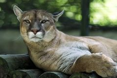 Portrait of cougar. Lying on wood Stock Images