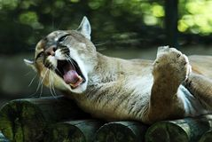 Portrait of cougar. Yawning on wood logs Royalty Free Stock Photography