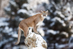 Portrait of a cougar, mountain lion, puma, panther, striking Stock Images