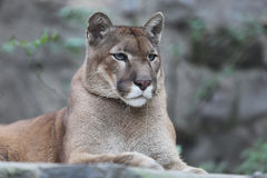 Portrait cougar puma striking a pose wildlife Royalty Free Stock Photo
