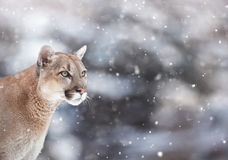 Portrait of a cougar in the snow, Winter scene in the woods. Wildlife America Royalty Free Stock Image