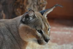 Portrait of Cougar in the zoo royalty free stock image