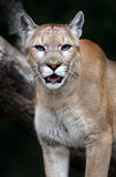 Portrait Cougars Royalty Free Stock Photo