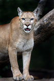 Portrait Cougars Stock Images