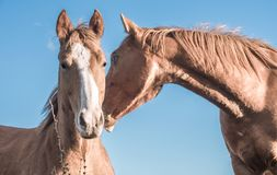 Couple brown horses. Portrait of couple of brown horses playing on a sunny day. Blue sky in the background Stock Photos