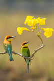 Portrait couple of Chestnut-headed Bee-eater Royalty Free Stock Photos