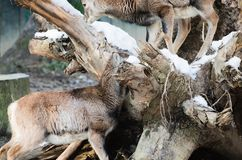Portrait of couple of fallow deer looking at camera. N Royalty Free Stock Photography