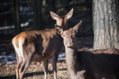 Portrait of couple of fallow deer looking at camera. Slovenia Royalty Free Stock Photos