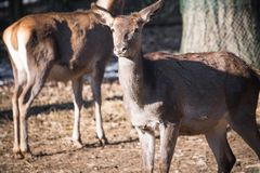 Portrait of couple of fallow deer looking at camera. Slovenia Royalty Free Stock Image
