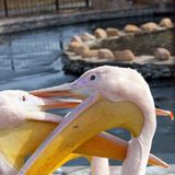 Portrait of pair large pelicans closeup. Portrait of couple large pelicans closeup Royalty Free Stock Photos